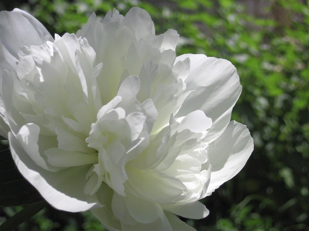 WHITE PEONY ROOT – RADIX PAEONIAE ALBA